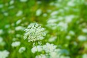 A field of Queen Annes Lace. poster