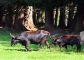 stock photo of aurochs  - The Auroch also Urus  - JPG