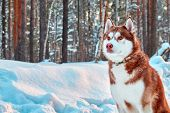 Portrait Beautiful Husky Dog On Walk In Winter Forest. Red Siberian Husky Sitting On Background Of S poster