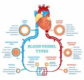 Blood Vessel Types Anatomical Diagram, Medical Scheme With Heart And Elastic Artery, Muscular Artery poster