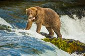 Alaskan Bear With Catched Fish On Brooks Falls, Katmai National Park, Fishing In Alaska, Bear At Fam poster