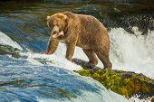 Alaskan Bear With Catched Fish On Brooks Falls, Katmai National Park, Fishing In Alaska, Bear At Fam poster