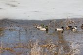 Mallards ( Drakes & Hens)  Swimming In A Partially Thawed  Marsh On A Warm Pre-spring Day. poster