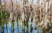 Typical cypress forest in Everglades National Park, Florida poster
