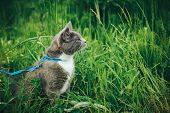 Gray Pet Cat With Leash Wandering In Backyard. Young Cute Male Cat Wearing A Harness Go On Lawn Havi poster