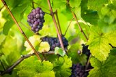 Large bunches of red wine grapes hang from an old vine in warm afternoon light poster