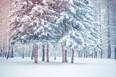Tree Pine Spruce In Magic Forest Winter Day. Snow Forest. Natural New Year Christmas Rembling Scener poster
