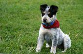 stock photo of blue heeler  - 8 week old Blue Heeler puppy dog - JPG
