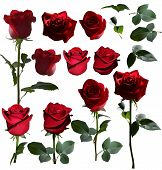 A Set Of Red Roses. Four Roses From Different Angles And Separately Heads Of Roses And Leaves Of Ros poster