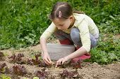 Little Girl Working In The Garden, Putting Mulch Among Salad Seedlings, Gardening. Education For Lif poster