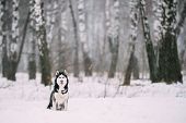 Siberian Husky Dog Sitting Outdoor In Snowy Field At Winter Day. poster