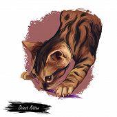 Ocicat Kitten Digital Art Illustration. Feline Breed Named After Ocelot, Kitty Playing With Thread.  poster