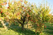 Garden At Backyard. Rich Harvest Concept. Apples Red Ripe Fruits On Branch Sky Background. Apples Ha poster