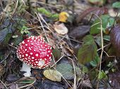 Close Up Red Toadstool Amanita Muscaria, Commonly Known As The Fly Agaric Or Fly Amanita, Mushroom I poster