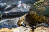 Closeup Of Kea Parrot Chewing On Wood, Typical Bird Behavior, Endangered Animal Specie From New Zeal poster