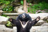 Black Bear With Chest The V Shape Is White Wool / Asiatic Black Bear Standing And Relax In The Summe poster