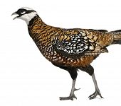 Male Reeves's Pheasant, Syrmaticus reevesii, can grow up to 210 cm long, in front of white backgroun
