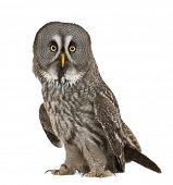 stock photo of laplander  - Portrait of Great Grey Owl or Lapland Owl - JPG