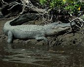 image of crocodilian  - An alligator takes a break from the water - JPG