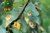 Apple Tree Branch With Green Leaves Affected By A Fungal Disease Rust. A Branch Of A Rusted Apple Tr poster
