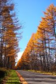 Autumn Japanese Larch