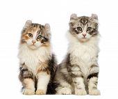 Постер, плакат: Американский Curl котенка 3 месяца сидит и смотрит в камеру перед белый фон