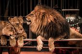 image of lioness  - Gorgeous roaring lion and two lioness on circus arena - JPG