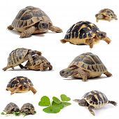 picture of testudo  - group of Testudo hermanni tortoises on a white isolated background - JPG