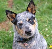 image of blue heeler  - Australian Cattle Dog with Black Eye Patch  - JPG