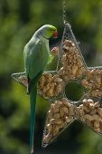 pic of ringneck  - Rose-ringed parakeet or ringnecked parakeet eating peanut sitting on feeding hanger