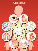 pic of hormones  - medical symbolic illustration of the effects of adrenaline in the human body - JPG