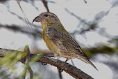 picture of crossbill  - Red  - JPG