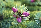 image of blue spruce  - the Beautiful cones on a spruce branch - JPG
