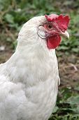 Closeup of hen in a farmyard (Gallus gallus domesticus)