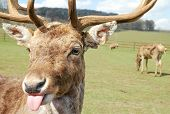 image of rude  - red deer in parkland with a rude attitiude