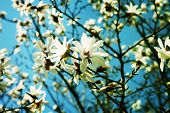 stock photo of magnolia  - White Magnolia flowers in full bloom  - JPG