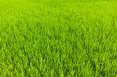 pic of tamil  - Rice paddy field close up - JPG