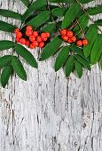 picture of rowan berry  - Red rowan berries and green leaves on the old wood - JPG