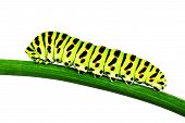 picture of green caterpillar  - Foto of green Caterpillar on the branch macro - JPG