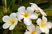 pic of champa  - white frangipani beautiful fresh morning with fog on the petals - JPG