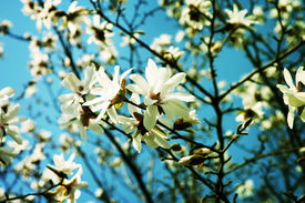 image of japanese magnolia  - White Magnolia flowers in full bloom  - JPG