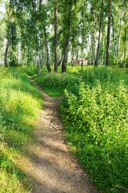 stock photo of birchwood  - the Path through enchanted spring green birchwood - JPG