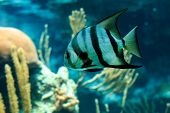 image of angelfish  - Closeup of a beautiful French Angelfish in Caribbean sea