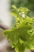 foto of northern hemisphere  - Grapevine flower transformation into a grape berry In the Northern Hemisphere this takes place in May and in the Southern Hemisphere in November - JPG