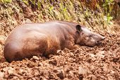 stock photo of tapir  - Tapir making the siesta amazonian rain forest - JPG