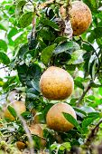 picture of pomelo  - Pomelo tree in the amazonian jungle, south america ** Note: Shallow depth of field - JPG