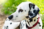 stock photo of firehouse  - a dalmatian on a green grass outdoors - JPG