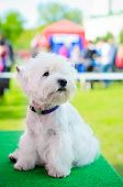 picture of west highland white terrier  - west highland white terrier on an exhibition outdoors - JPG