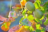 picture of walnut-tree  - ripe walnut on a tree in fall time - JPG