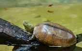 stock photo of carapace  - The little turtle Lying on the concrete floor - JPG